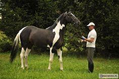 Wielkopolski - stallion Emigrant