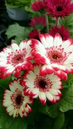 Eccentrically splendid red and white Gerbera Daisies. Beautiful Rose Flowers, Flowers Nature, Exotic Flowers, Amazing Flowers, Pretty Flowers, Beautiful Gardens, Flower Wallpaper, Flower Art, Planting Flowers