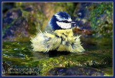 Die badende Meise/The bathing small bird/قرقف السباحة. by shaman_healing, via Flickr