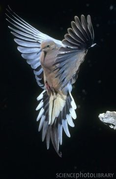 Stock Photo : Mourning dove (Zenaida macroura) in flight in California. Pretty Birds, Beautiful Birds, Animals Beautiful, Beautiful Pictures, Mago Tattoo, Pigeon Tattoo, Dove Tattoos, Mourning Dove, Dove Bird