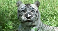 Does Catnip Work On Big Cats Like Lions And Tigers? http://www.iconicvideos.biz/catnip-work-big-cats-like-lions-tigers/