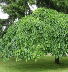 An Umbrella Elm/ Sateenvarjojalava Unusual Plants, Ornamental Grasses, Green Garden, Trees And Shrubs, Pergola Kits, Fruit Trees, Natural Beauty, Herbs, Landscape