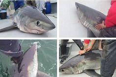 VIDEO: 'Monster' 450lb shark reeled in by Bristol fishermen less than a mile from UK coastline   Read more: http://www.bristolpost.co.uk/WATCH-Monster-450lb-shark-reeled-Bristol/story-29288727-detail/story.html#ixzz495oB30jh  Follow us: @BristolPost on Twitter | bristolpost on Facebook