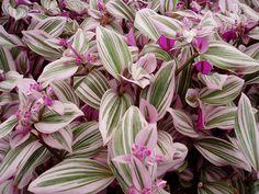 Tradescantia fluminensis 'Lilac'