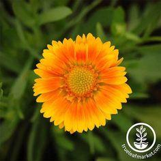 Arizona Gardening, Planting Sunflowers, Powdery Mildew, Black Eyed Susan, Garden Seeds, Flower Seeds, Beautiful Roses, Botany, Vegetable Garden