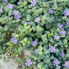Vinca Minor (Periwinkle Minor) for Shade Garden Shade Perennials, Shade Plants, Periwinkle Plant, Colorful Shrubs, Evergreen Groundcover, Low Growing Shrubs, Dwarf Shrubs, American Meadows, Plant Zones