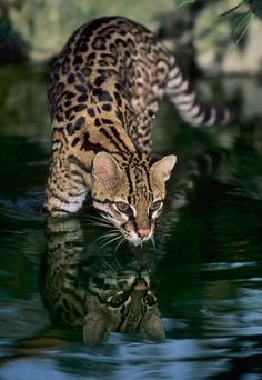 Ocelot...one of the most beautiful cats on the planet.