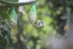 There are Blue Tits galore in the ILGB #garden this morning, taking full advantage of the peanut and suet feeders. Will have to refill them at lunch time at this rate. #wildbirds