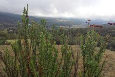 Manzanita in the Top