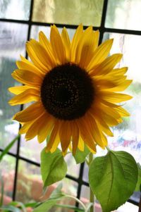 tips for growing sunflowers! :)