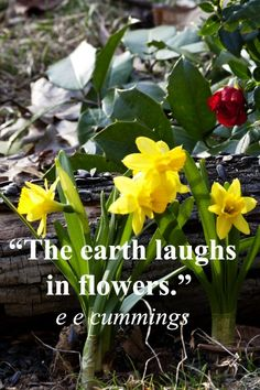 """""""The earth laughs in flowers."""" – e e cummings – Image of daffodils by Florence McGinn – Time to build your child's sense of nature's renewal!  The Naturalist Intelligence as identified by Harvard educator, Howard Gardner, is pivotal to children's environmental learning.  Learn more at """"Creative learning – how to build a child's naturalist intelligence"""" at http://www.examiner.com/article/creative-learning-how-to-build-a-child-s-naturalist-intelligence"""