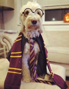 Howloween harry potter costume for Dogs. #dogcostumes Howloween. Click for more dogs dressed up for Halloween!