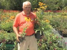 """""""Rudbeckia - Annual or Perennial"""""""