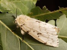 These Moths Will Be Renamed to Stop Use of an Ethnic Slur | Smart News | Smithsonian Magazine Ant Species, Global Warming Climate Change, Michigan City, Best Places To Live, Environmental Issues, Trees And Shrubs, Wild Ones, Habitats, Moth