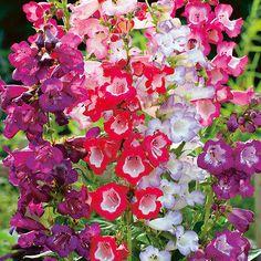 BEARDTONGUE - PENSTEMON - Sensation mix - 600 seeds - PERENNIAL FLOWER