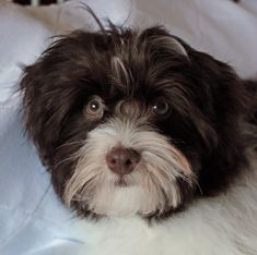 We specialize in high quality, AKC Champion Sired Havanese puppies. Havanese Breeders, Havanese Puppies For Sale, Best Puppies, Getting A Puppy, Crate Training, Family Kids, Go Outside, Cuddling, Little Girls