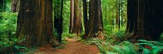 I Want to Walk Through the Redwood Forest.