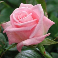 Baby Boomer™ - Miniature Roses - Roses - Heirloom Roses