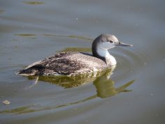 Red-throated Loon My picture--taken at Oso Flaco, San Luis Obispo County