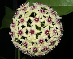Hoya bella flower