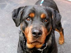 TO BE DESTROYED 6/1/14 Manhattan Center -P  My name is MAXIE. My Animal ID # is A1000746. I am a spayed female black and brown rottweiler mix. The shelter thinks I am about 5 YEARS old.  I came in the shelter as a OWNER SUR on 05/23/2014 from NY 11385, owner surrender reason stated was LLORDPRIVA.