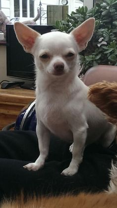 Join jamie on facebook.....jamie a little white chihuahua