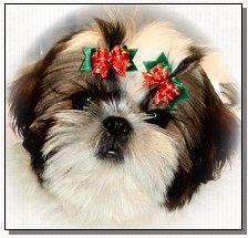 Doggy Bow Ties.com rock - they keep us pretty every day.  Shih Tzu