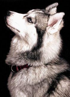 Dogs I Want: Husky