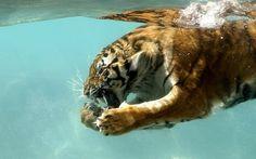Tiger - Tigers Wallpaper (5091230) - Fanpop