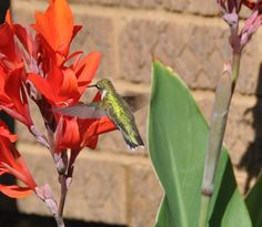 Hummingbirds love Cannas ...