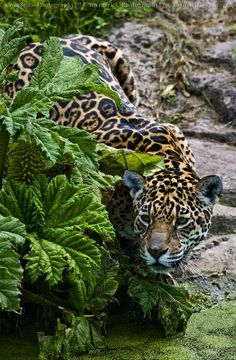 Female Jaguar, simplemente bella.