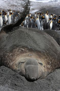 Elephant seal and king penguins on beach, South Georgia. The seal flicks wet sand on its back to keep cool. The elephant seals present an obstacle course to the king penguins who have to navigate around their large blubbery bodies. ©Fredi Devas