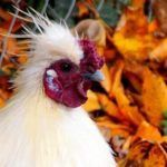 What To Gather & Save In Fall To Feed Chickens ..