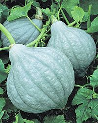 Baby Blue Hubbard Winter Squash -A nice 'family-size' hubbard-shaped squash yielding light gray-blue 4 to 6 lb. fruits on space-saving semi-bush vines. The thick orange-yellow flesh is sweet and dry with excellent flavor. Keeps well. Exotic Fruit, Exotic Plants, Blue Hubbard Squash, Squash Seeds, Pumpkin Squash, Blue Magic, Squashes, Beautiful Fruits, Edible Plants