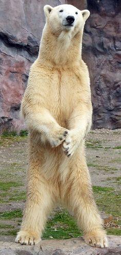 Polar Bear arctic standing Ursus maritimus
