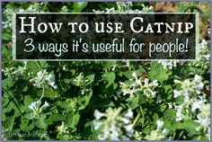 Learn how to use catnip on you--not your cat--because it's useful for people too! It has very positive effects on humans and is great for fever, colic, and more.