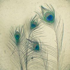 Wispy Peacock Feathers