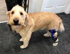 Duke got his knee brace in his favorite school colors. Duke blue, of course! Acl Brace, Knee Brace, Dog Braces, Orthotics And Prosthetics, Anterior Cruciate Ligament, Surgery Recovery, School Colors, Pittsburgh, Duke