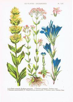 Botanical Print.Floral.RARE.Botanic,Vintage.Antique.Genuine.1929.French.Art.Classic.Mom.Dad.angiosperm.Plant.pretty picture.eco.flower.boho by JackieBassettArt on Etsy