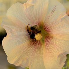 """EMSIG WIE EINE BIENE von Stefanie Neumann: """"Emsig wie eine Biene zu sein, bedeutet also offenbar nicht, die ganze Zeit durchgehend geschäftig zu sein, sondern auch zu Rasten, wenn man eine Pause braucht."""" auf #KokopelliBeeznessJournal   Image: Hummelkönigin auf Stockrose © Stefanie neumann - All Rights Reserved; #KBFPhotography"""