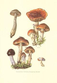 1964 Cortinarius Mushrooms Orange Webcap by CabinetOfTreasures