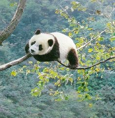 The Giant Panda (Ailuropoda melanoleuca) is the worlds best known and probably cutest endangered species. The species eats only bamboo and is vulnerable to die-backs of particular bamboo species because the wild population has become separa