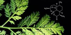 Antibiotic-resistant germs, dangerous viruses, cancer: unsolved medical problems require new and better drugs. Nature can provide the inspiration Natural Medicine, Herbal Medicine, Artemisia Annua, Natural Cancer Cures, Chinese Herbs, Traditional Chinese Medicine, Organic Herbs, Medical Problems, Healing Herbs