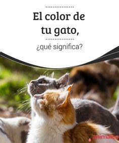 El color de tu gato, ¿qué significa? ¿Cuál es el color de tu gato? Los gatos pueden ser de colores muy diferentes. ¿Sabías que cada uno tiene un significado? Te lo explicamos a continuación. #Curiosidades #Colores #Significado #Gato