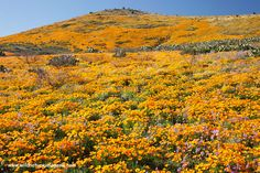 Hills covered with orange flowers on the hills near Safford AZ.  WOW! This goes on for miles