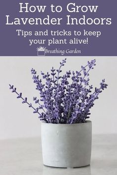 Lavender can grow giant, but you can keep it indoors easily too! Read how. Indoor Lavender Plant, Lavender Plant Care, Best Indoor Plants, Indoor Flowers, Indoor Plant Pots, Lavender Plants, Indoor Flowering Plants, Potted Plants, Hanging Plants