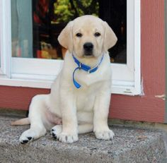 Tug the Labrador Retriever, love the little soft roll & pink belly!!!