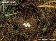 Marsh owl eggs in nest