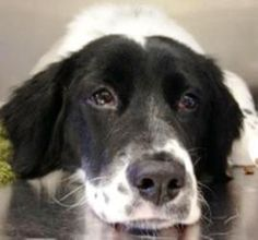McKenzie is an adoptable Brittany Spaniel Dog in Oswego, IL. ***AVAIL NOW- I am in Yorkville IL awaiting my forever family*** Hi Everyone, I am an adorable 8 month old Springer/Brittany Spaniel Mix ba...