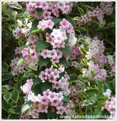 Nejkrásnější keře do zahrady - Zahrada a Příroda kvetoucí keře Garden Inspiration, Gardening, Plants, Lawn And Garden, Plant, Planets, Horticulture